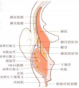 是颞部结构的脂肪组织