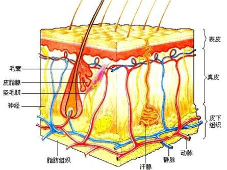 皮肤由表皮,真皮和皮下组织构成,除毛发,甲,汗腺,皮脂腺等皮肤附属器