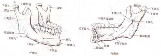 颌部的解剖结构
