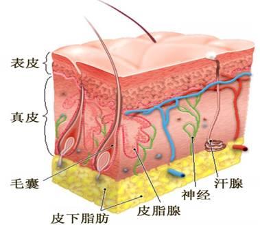 皮肤由表皮,真皮和皮下组织等组成,表皮和真皮之间由基底膜带连接