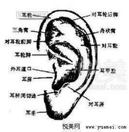 耳部结构示意图